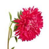 La flor aster aislada — Foto de Stock