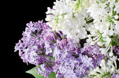 The beautiful lilac on black background — Stock fotografie