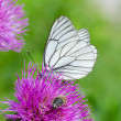 White butterfly on lilac flower - Stock Photo