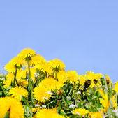 Diente de león hermosa primavera — Foto de Stock