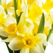 Stock Photo: Narcissi