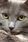 猫的脸 — 图库照片