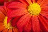 花びら — ストック写真