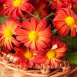Stock Photo: Chrysanthemum in a basket