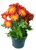 Chrysanthemum — Stockfoto