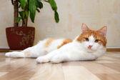 Simpatico gatto bianco e rosso, sdraiato sul pavimento — Foto Stock