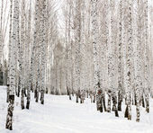 Ski run in a winter birch forest — Stock Photo