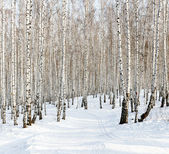 Ski run in a winter birch forest — Stock Photo