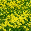 Meadow with yellow wildflowers. background — Stock Photo #8956759