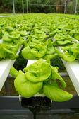 Hydroponic vegetable farm — Stock Photo