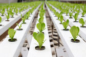 Hydroponic vegetable plantation — Stock Photo