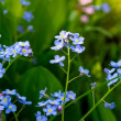 Forget-me-not flowers (Myosotis sylvatica). - Stock Photo