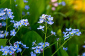 Forget-me-not flowers (Myosotis sylvatica). — Stock Photo