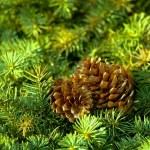 Pine tree — Stock Photo #9211574