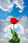The tulip on the background of blue sky — Stockfoto