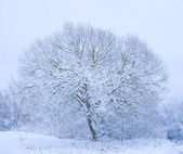 Tree covered snow — Stock Photo