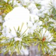 Pine branch under snow in winter — Stock Photo