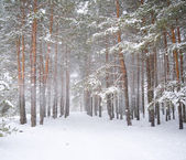 Strong snowstorm in a pine forest — Stok fotoğraf