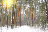Sun's rays through the trees of the winter forest — Stock Photo