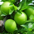 Stock Photo: Green plums
