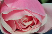 Pink rose — Zdjęcie stockowe