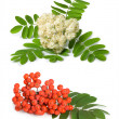 Rowan berry and flowers — Stock Photo
