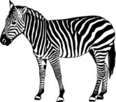 Zebra vector illustration — Stock Vector