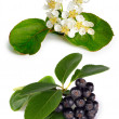 Black chokeberry (Aronia melanocarpa) — Stock Photo #8907200