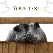 Foto Stock: Pigs couple
