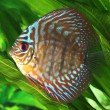 Symphysodon discus fish - Stock Photo