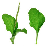 """Greater Plantain (Plantago major or """"Soldier's Herb"""") — Stock Photo"""