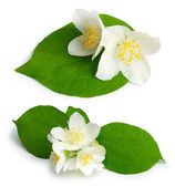 Set of jasmine flowers (mock-orange, Philadelphus) — Stock Photo
