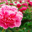 Peonies — Stock Photo #8904481