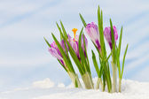 Spring flowers, crocus in the snow — Stock Photo