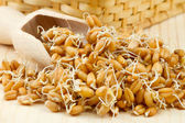 Sprouted wheat seeds with Wooden scoop on table — Stock Photo