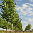 Rows of linden-tree — Stock Photo