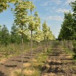 Rows of maple — Stock Photo