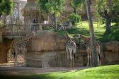 žirafy ve valencii biopark — Stock fotografie