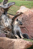 Hyena in Biopark Valencia — Stock Photo