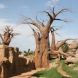 Baobab trees in Biopark Valencia — Stock Photo