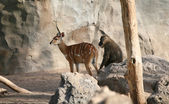 Antelope and baboon in Biopark Valencie. — Stock Photo