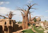 Baobab trees in Biopark Valencia — Stock Photo