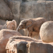 Group of elephants in Biopark Valencia — Stock Photo