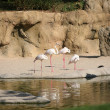 White flamingos in Biopark Valencia — Stock Photo