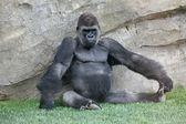 Big gorilla in Biopark Valencia — Stock Photo