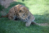 Leopard in Biopark Valencia — Stock Photo