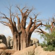 Baobab trees - Stock Photo