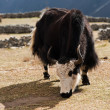 Rural life in Nepal: Yak and highland village - Stock Photo