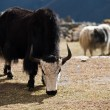 Yaks in highland village in Himalayas - Stock Photo