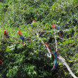 Stock Photo: Green-winged macaw group
